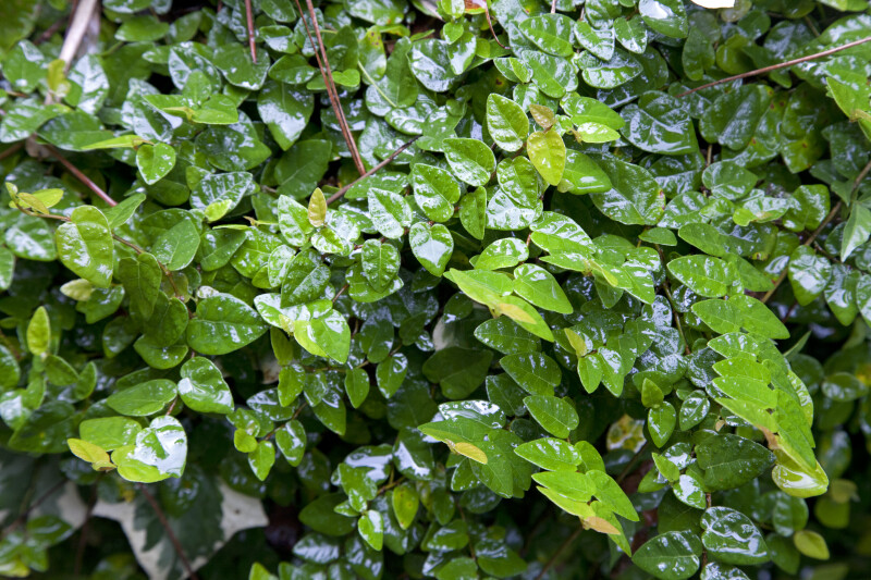 Small, Glossy Creeping Fig Leaves at the Kanapaha Botanical Gardens