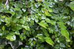 Small, Glossy Creeping Fig Leaves at the Kanapaha Botanical Gardens
