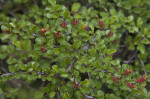 Small Leaves and Flowers on the Branch of a Creeping Cotoneaster