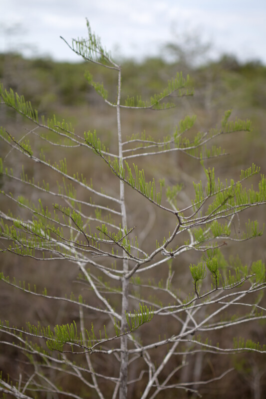 Small Leaves and Skinny Branches of a Bald Cypress