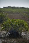 Small Mangrove Close-Up