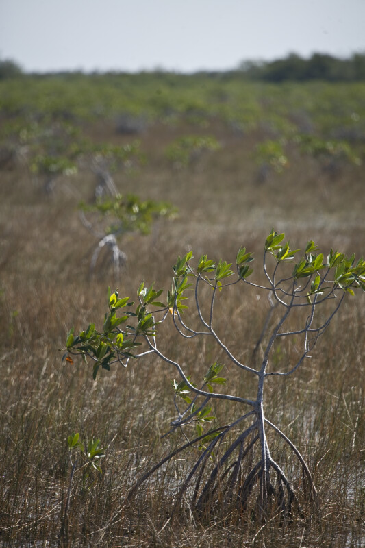 Small Mangrove in Sawgrass Close-Up