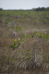 Small Mangrove in Sawgrass Close-Up