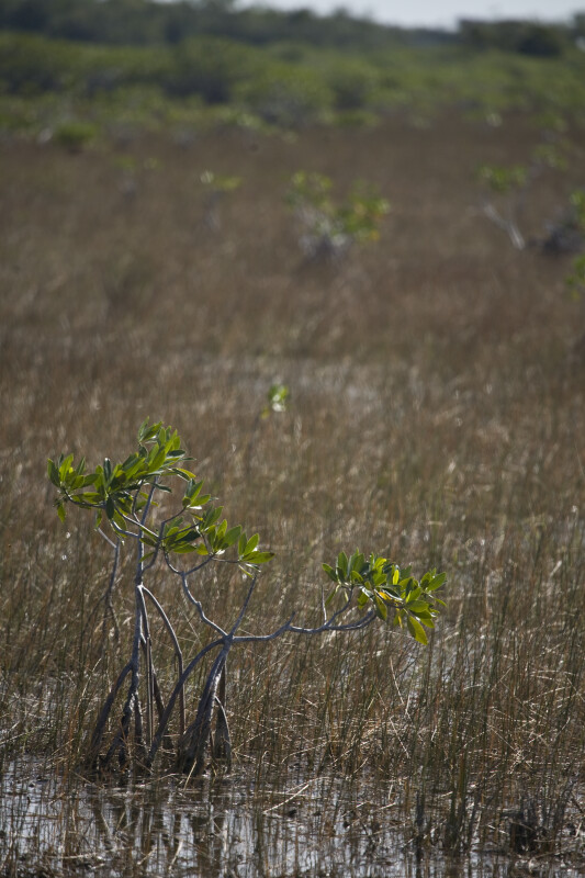 Small Mangrove in Shallow Water