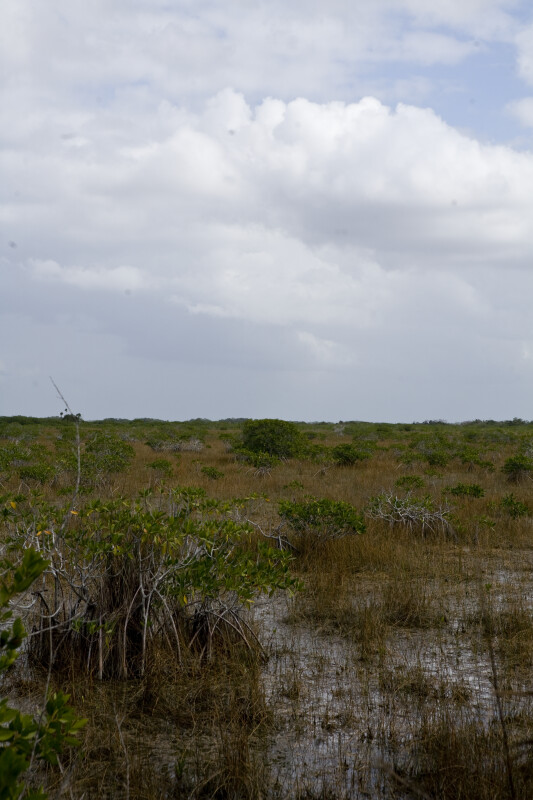Small Mangrove
