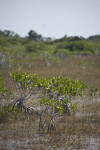 Small Mangroves in the Everglades