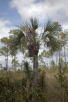 Small Palm Tree at Long Pine Key of Everglades National Park