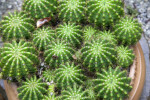Small, Potted, Rounded Cacti with Many Prickles