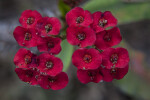 Small, Red Flowers of a Christ Plant