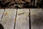 Small Salamander at Mahogany Hammock of Everglades National Park