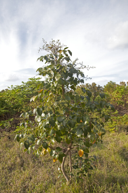 Small Tree with a Curvy Trunk  at the Flamingo Campgrounds of Everglades National Park