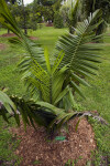 Small Tropical American Oil Palm
