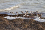 Small Wave to the Left of a Group of Shorebirds