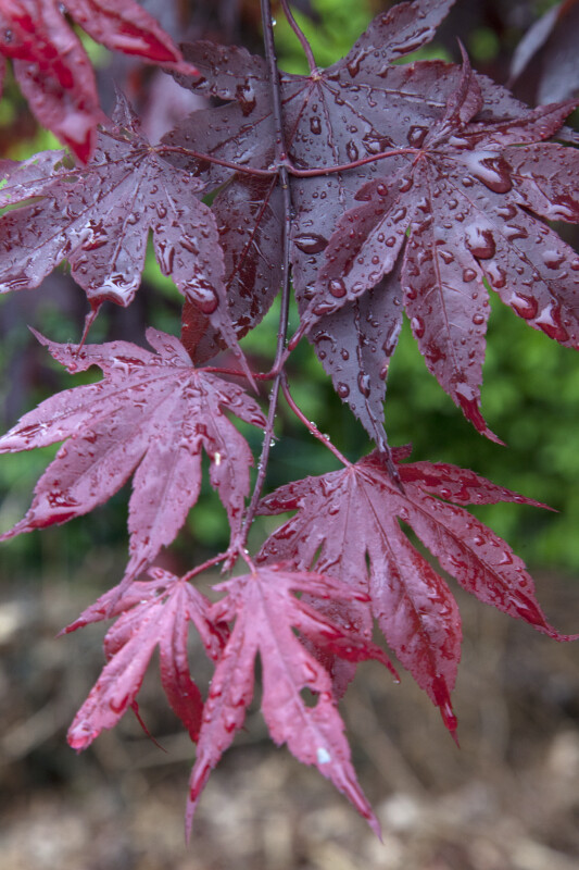 Small, Wet Oriental Maple Leaves
