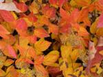 Euonymus alatus Leaves