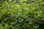 Smooth Hydrangea at the Arnold Arboretum of Harvard University