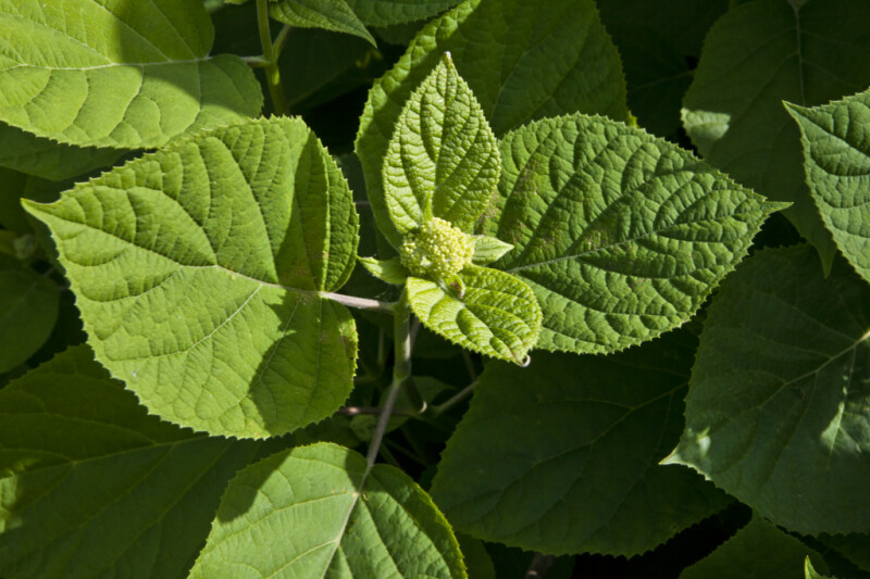 Smooth Hydrangea Leaves