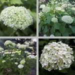 Smooth Hydrangeas photographs