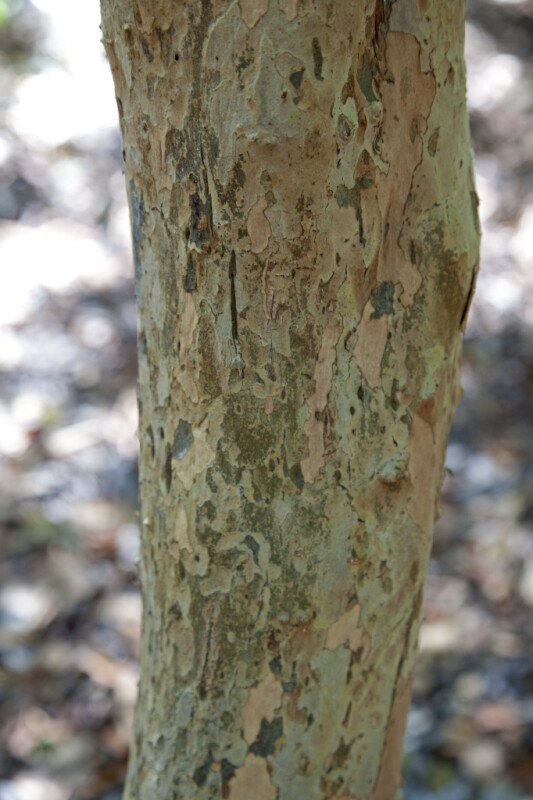 Smooth, Patchy Pigeon Plum Bark
