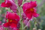 "Snapdragon ""Feuerzauber""  Flowers"