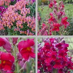 Snapdragons photographs