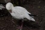 Snow Goose Preening