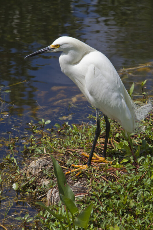 Snowy Egret Standing Near Water at Shark Valley of Everglades National Park