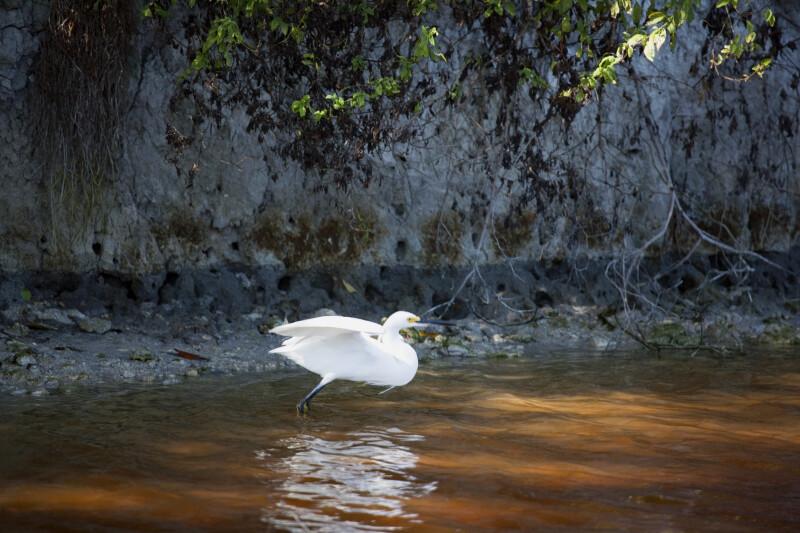 Snowy Egret Standing