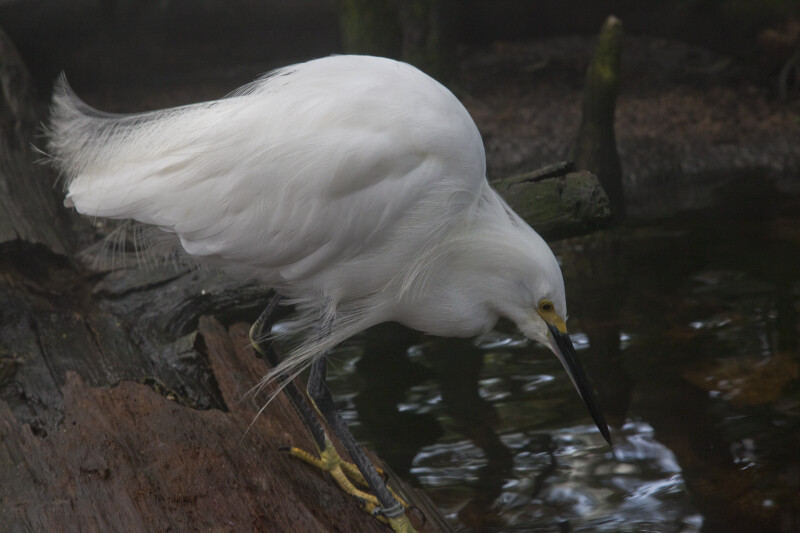 Snowy Egret with Beak Slightly Above Water's Surface
