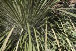 Soaptree Yucca Base