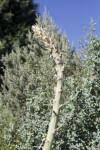 Soaptree Yucca Tip