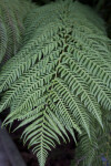 Soft Tree Fern Leaves