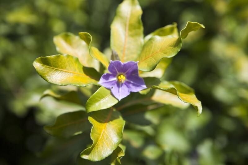 Solanum conocarpum Flower