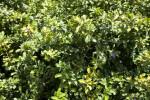 Solanum Conocarpum