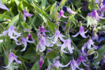Solitary Clematis