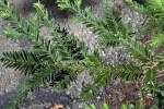 Soquel Coast Redwood Branches at the UC Davis Arboretum