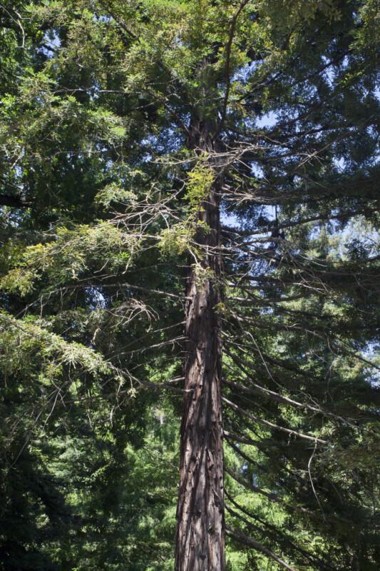 Soquel Coast Redwood Tree at the UC Davis Arboretum