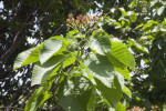 Sorbus yuana Tree Branch