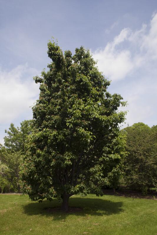 Sorbus yuana Tree