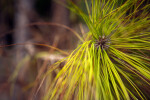 South Florida Slash Pine Leaves