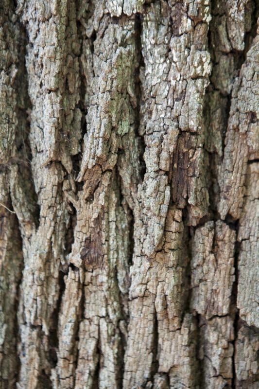 Southern Live Oak Bark