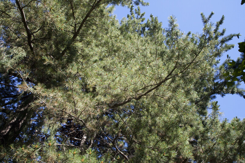 Southwestern White Pine Branches