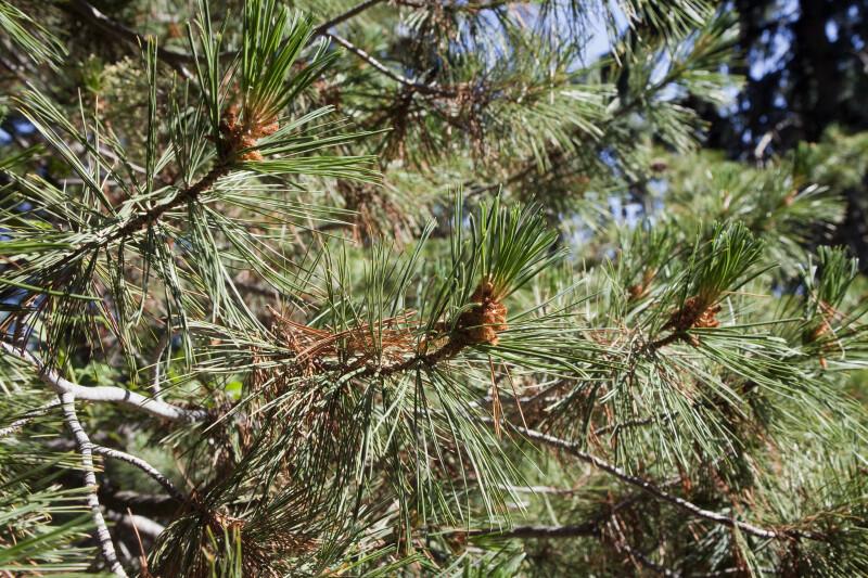 Southwestern White Pine Close-Up