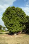 Spanish Lime Tree