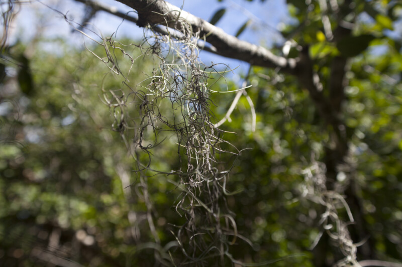 Spanish Moss at Windley Key Fossil Reef Geological State Park