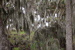 Spanish Moss Covering Trees and Shrubs at Myakka River State Park