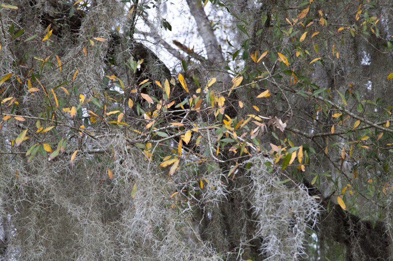Spanish Moss Hanging from Branches with Yellow and Green Leaves