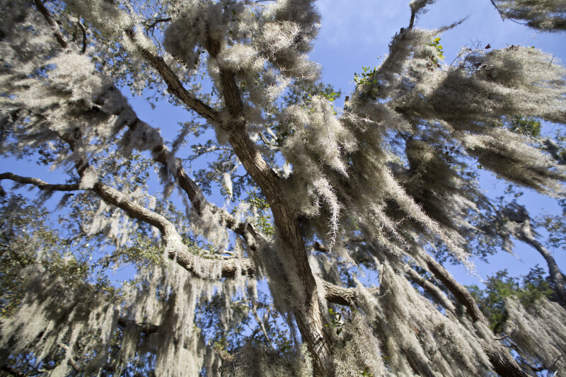 Spanish Moss Hanging from Tree Branches