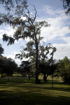Spanish Moss Hanging from Trees at the Fort Caroline National Memorial
