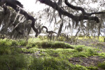 Spanish Moss Hanging From Whirling Tree Branches at Myakka River State Park